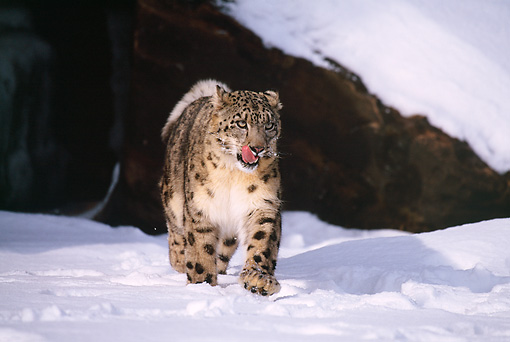 LEP 40 RF0002 01 © Kimball Stock Snow Leopard Walking On Snow