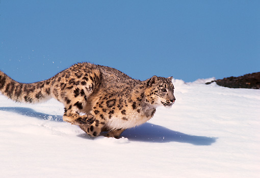 LEP 40 RK0001 03 © Kimball Stock Snow Leopard Running Down Hill Of Snow