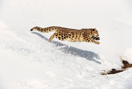 LEP 40 RK0001 14 © Kimball Stock Snow Leopard Running Down Hill Of Snow