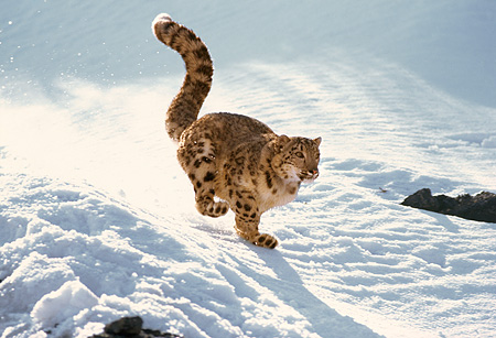 LEP 40 RK0003 02 © Kimball Stock Snow Leopard Running Fast Down Rocks