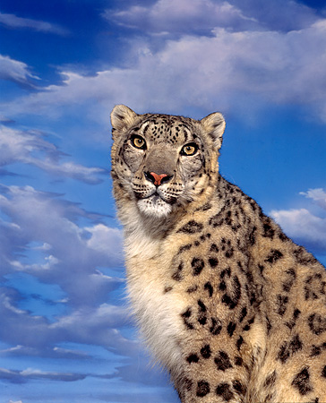 LEP 40 RK0018 01 © Kimball Stock Shoulder Shot Of Snow Leopard Clouds Studio