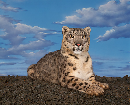 LEP 40 RK0024 01 © Kimball Stock Snow Leopard Lying Down On Pebbles Facing Camera Studio