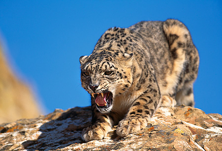 LEP 40 RK0039 01 © Kimball Stock Snow Leopard Laying On Rocks Growling