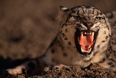 LEP 40 RK0059 20 © Kimball Stock Snow Leopard Laying In Dirt Growling