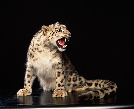 LEP 40 RK0066 02 © Kimball Stock Snow Leopard Sitting In Studio Growling Black Background