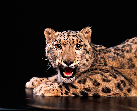 LEP 40 RK0069 01 © Kimball Stock Snow Leopard Laying Down In Studio Growling Black Background