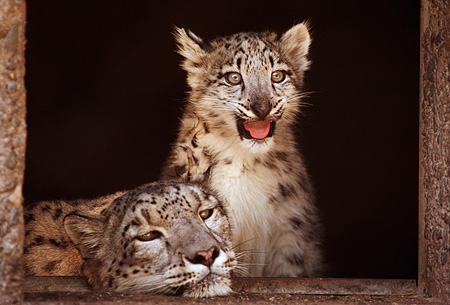 LEP 40 RK0076 21 © Kimball Stock Adult And Cub Snow Leopard Sitting In Doorway