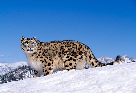 LEP 40 RK0114 02 © Kimball Stock Full Side Body Of Snow Leopard Standing In Snow With Some Mountain