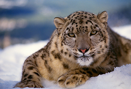 LEP 40 RK0131 05 © Kimball Stock Snow Leopard Laying In Snow Facing Camera