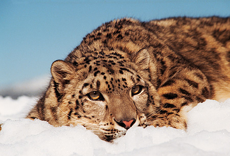 LEP 40 RK0132 01 © Kimball Stock Snow Leopard Laying With Head Real Low In Snow Facing Camera Blue Skies