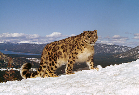 LEP 40 RK0144 02 © Kimball Stock Full Body Of Snow Leopard Standing On Snow Hill With Mountains In Background