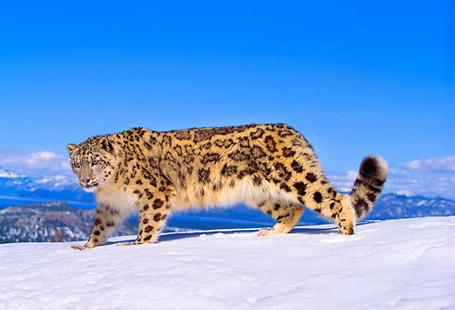 LEP 40 RK0145 02 © Kimball Stock Snow Leopard Standing On Snow