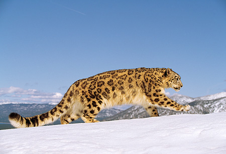 LEP 40 RK0146 03 © Kimball Stock Profile Shot Of Snow Leopard Walking On Snow With Mountain Background