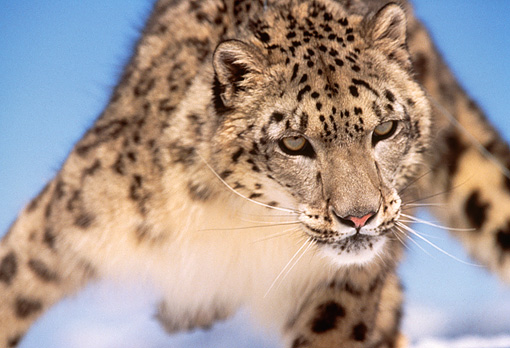 LEP 40 RK0163 02 © Kimball Stock Close Up Of Snow Leopard Coming Towards Camera