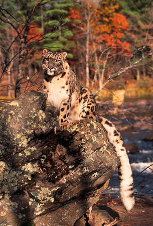 LEP 40 RK0167 01 © Kimball Stock Snow Leopard Sitting On Rock By Water And Fall Colored Trees Sun Shining