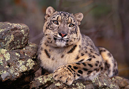 LEP 40 RK0169 07 © Kimball Stock Shoulder Shot Of Snow Leopard Laying On Top Of Rock Trees Background