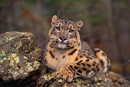 LEP 40 RK0171 11 © Kimball Stock Snow Leopard Laying On Top Of Rock Facing Camera Trees Background
