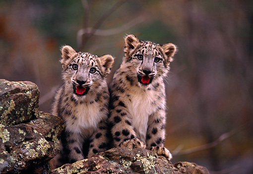 LEP 40 RK0184 06 © Kimball Stock Two Snow Leopard Cubs Sitting Together On Top Of Rock Growling Trees Background