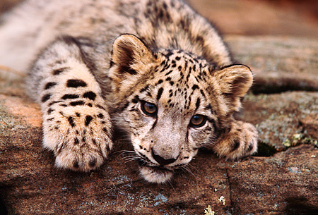 LEP 40 RK0188 02 © Kimball Stock Close Up Head Shot Of Snow Leopard Cub Laying Low On Rock