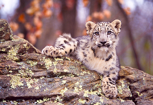 LEP 40 RK0199 03 © Kimball Stock Snow Leopard Cub Laying On Rock Facing Camera Trees In Background