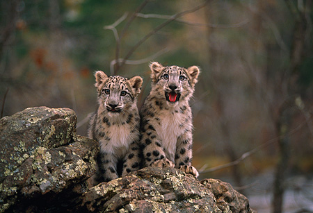 LEP 40 RK0214 02 © Kimball Stock Two Snow Leopard Cubs Sitting Together On Top Of Rock Facing Camera Trees Background