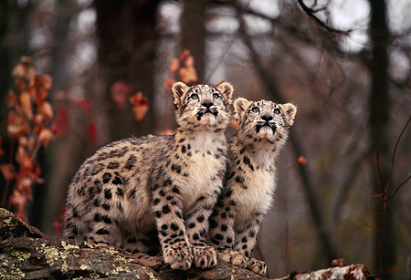 LEP 40 RK0222 05 © Kimball Stock Two Snow Leopard Cubs Sitting Together On Rock Looking Up Trees Background