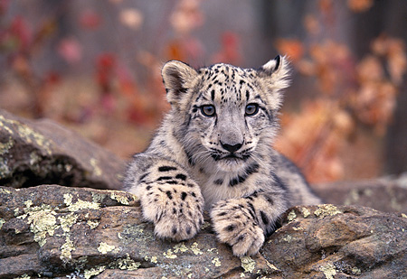 LEP 40 RK0244 03 © Kimball Stock Head Shot Of Snow Leopard Cub Laying With Paws Out Fall Colored Tree Background