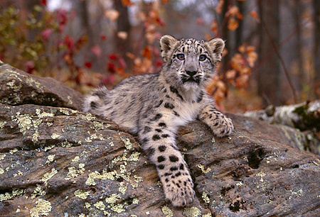 LEP 40 RK0245 10 © Kimball Stock Snow Leopard Cub Laying On Rock Facing Camera With One Paw Out Trees Background