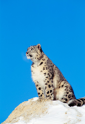 LEP 40 TK0001 01 © Kimball Stock Snow Leopard Sitting On Rock In Snow Blue Sky