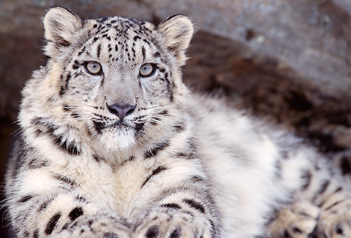 LEP 40 TL0002 01 © Kimball Stock Portrait Of Laying Snow Leopard Staring At Camera