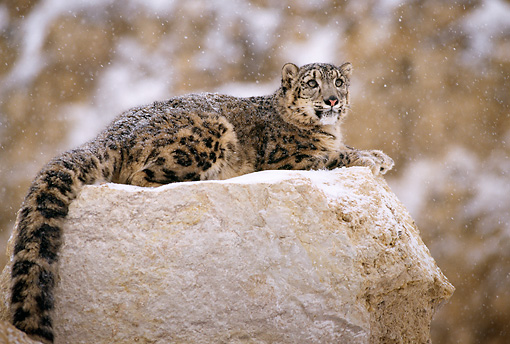 LEP 40 TL0003 01 © Kimball Stock Profile Of Snow Leopard Laying On Rock