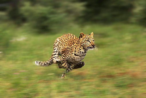 LEP 60 JE0001 01 © Kimball Stock Leopard Running On Savanna