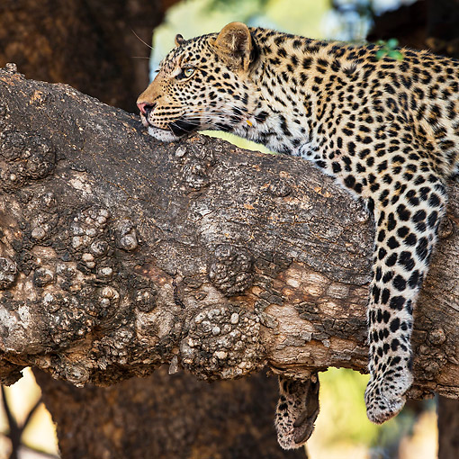LEP 60 KH0002 01 © Kimball Stock Close-Up Of Leopard Resting On Branch In Bostwana