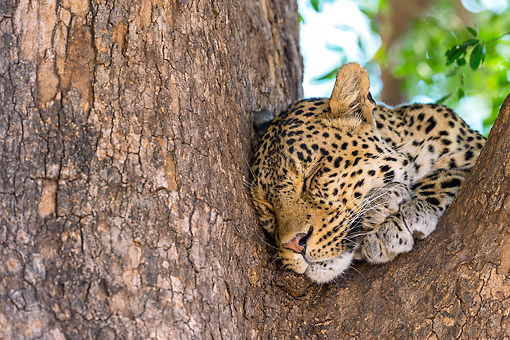 LEP 60 KH0003 01 © Kimball Stock Close-Up Of Leopard Resting On Branch In Bostwana