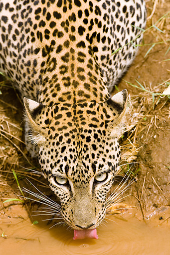LEP 60 MC0001 01 © Kimball Stock Head Shot Of African Leopard Drinking From Puddle Kenya