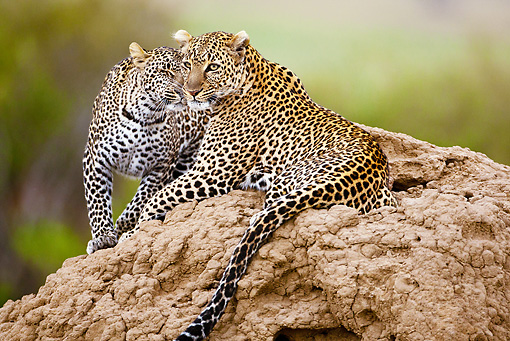 LEP 60 MC0011 01 © Kimball Stock Two Leopards Laying On Termite Mound Nuzzling Kenya