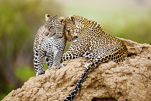 LEP 60 MC0012 01 © Kimball Stock Two Leopards Laying On Termite Mound Nuzzling Kenya