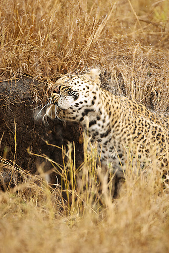 LEP 60 MC0014 01 © Kimball Stock African Leopard Shaking Wet Fur In Grassland Kenya