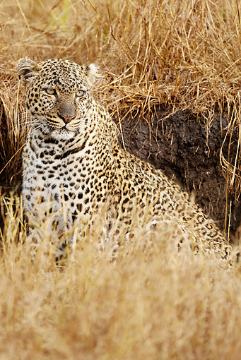 LEP 60 MC0015 01 © Kimball Stock African Leopard Sitting In Dry Grassland Kenya