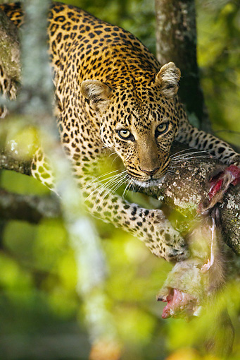 LEP 60 MC0016 01 © Kimball Stock Close-Up Of African Leopard Climbing In Tree Eating Prey Kenya