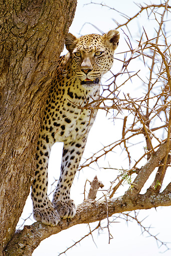 LEP 60 MC0021 01 © Kimball Stock Leopard Hunting From Tree Tanzania