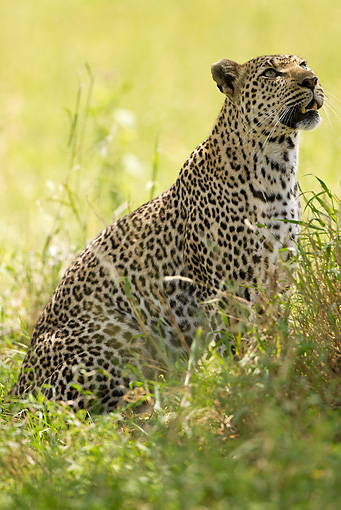 LEP 60 MC0024 01 © Kimball Stock Leopard Sitting In Grass Tanzania