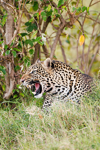 LEP 60 MC0036 01 © Kimball Stock Portrait Of African Leopard Snarling In Masai Mara Game Reserve, Kenya