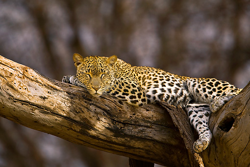 LEP 60 WF0001 01 © Kimball Stock Leopard Relaxing In Tree