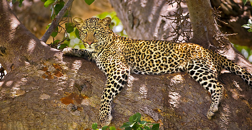 LEP 60 WF0002 01 © Kimball Stock Leopard Relaxing In Tree