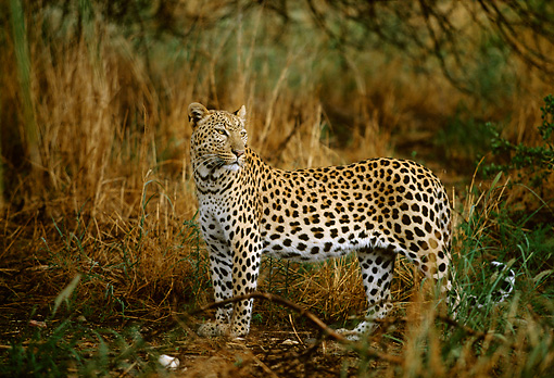 LEP 60 DB0005 01 © Kimball Stock Profile Of Leopard Standing In Tall Grass In Africa