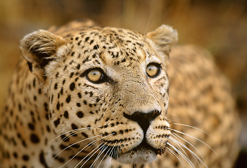 LEP 60 DB0007 01 © Kimball Stock Head Shot Of Leopard Africa