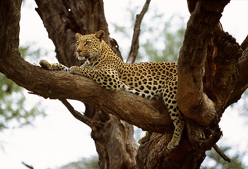 LEP 60 DB0010 01 © Kimball Stock Profile Of Leopard Laying On Tree Branch In Africa