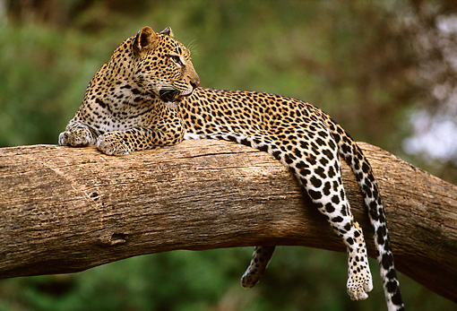 LEP 60 DB0011 01 © Kimball Stock Profile Of Leopard Laying On Tree Branch In Africa