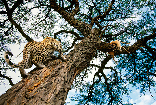 LEP 60 DB0014 01 © Kimball Stock Leopard Climging Tree Toward Killed Springbok In Africa